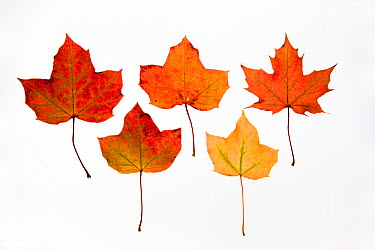 Field maple (Acer campestre) leaves photographed on white background in autumn, UK  -  Ann & Steve Toon/ npl