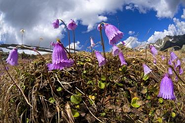 Dwarf snowbell (Soldanella pusilla) in flower on mountainside, Austrian Alps, June  -  Alex Hyde/ npl
