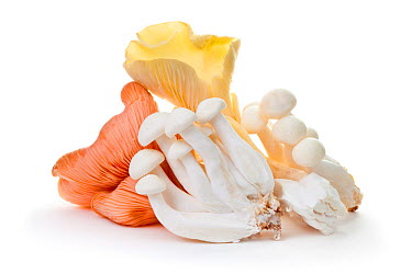 Edible mushroom species from market stall including pink and yellow Oyster Mushrooms (Pleurotus sp) and White Beech Mushrooms (Hypsizygus tessellates)  -  Alex Hyde/ npl