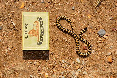 Harlequin snake (Homoroselaps lacteus) neonate next to a match box to show size, DeHoop Nature Reserve, Western Cape, South Africa, November  -  Tony Phelps/ npl