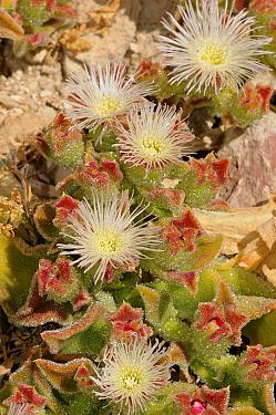 Ice plant (Mesembryanthemum crystallinum) flowering, DeHoop Nature Reserve, Western Cape, South Africa, November  -  Tony Phelps/ npl