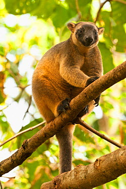 Female Bennett's tree kangaroo (Dendrolagus bennettianus) sitting in tree, captive in breeding program, The Wildlife Habitat, Port Douglas, North Queensland, Australia, August  -  Steven David Miller/ npl