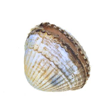 Common, Edible cockle (Cerastoderma edule) shell partially open, County Clare, Ireland meetyourneighboursnet project  -  MYN/ Carsten Krieger/ npl