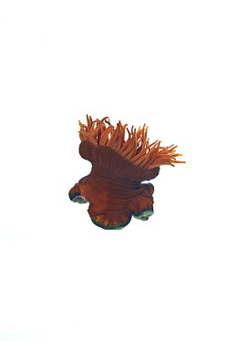 Beadlet anemone (Actinia equina) opening, sequence 3, 3, County Clare, Ireland, December meetyourneighboursnet project  -  MYN/ Carsten Krieger/ npl