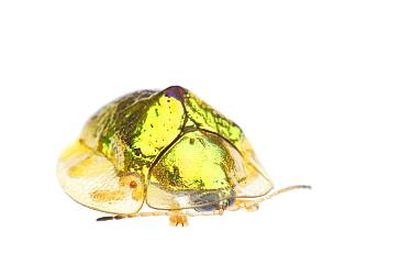 Anacua tortoise beetle (Coptocycla texana) Sabal Palm Sanctuary, Lower Rio Grande Valley, Texas, USA, September meetyourneighboursnet project  -  MYN/ Seth Patterson/ npl