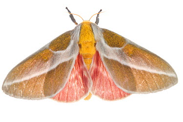 Royal moth (Syssphinx albolineata) Sabal Palm Sanctuary, Lower Rio Grande Valley, Texas, USA, October meetyourneighboursnet project  -  MYN/ Seth Patterson/ npl