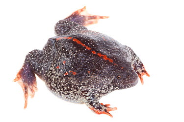 Mexican Burrowing Toad (Rhinophrynus dorsalis) dorsal view, Lower Rio Grande Valley, Texas, USA, July meetyourneighboursnet project  -  MYN/ Seth Patterson/ npl