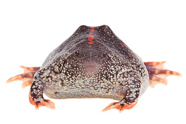 Mexican Burrowing Toad (Rhinophrynus dorsalis) Lower Rio Grande Valley, Texas, USA, July meetyourneighboursnet project  -  MYN/ Seth Patterson/ npl