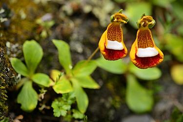 Sand Lady's slipper, Zapatito de la Virgin (Calceolaria uniflora), Torres del Paine National Park, Patagonia, Chile  -  Oriol Alamany/ npl