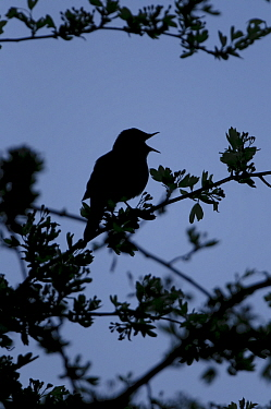 Common nightingale (Luscinia megarhynchos) silhouetted in a bush, singing during dawn chorus, Cambridgeshire, April 2010  -  Chris Gomersall/ 2020V/ npl