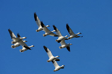 Flock of Snow geese (Chen caerulescens) in flight, migrating south, Bic National Park, Quebec, Canada, October  -  Loic Poidevin/ NPL