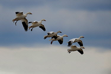 Six Snow geese (Chen caerulescens) flying during southward migration, Quebec, Canada, October  -  Loic Poidevin/ NPL