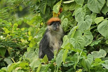 Udzungwa Red Colobus Monkey (Procolobus gordonorum) adult female among canopy leaves Udzungwa Mountains National Park, Tanzania Endangered species  -  Tom Struhsaker/ npl