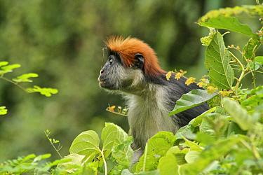 Udzungwa Red Colobus Monkey (Procolobus gordonorum) adult female among canopy leaves Udzungwa Mountains National Park headquarters near Mang'ula, Tanzania Endangered species  -  Tom Struhsaker/ npl