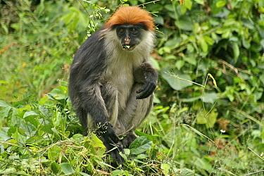 Udzungwa Red Colobus Monkey (Procolobus gordonorum) sub-adult male feeding Udzungwa Mountains National Park headquarters near Mang'ula, Tanzania Endangered species  -  Tom Struhsaker/ npl