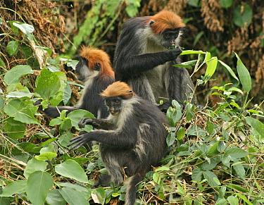 Udzungwa Red Colobus Monkey (Procolobus gordonorum) adult female (top) with two juveniles, feeding on leaves Udzungwa Mts National Park, Tanzania headquarters near Mang'ula Endangered species  -  Tom Struhsaker/ npl