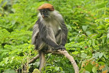 Udzungwa Red Colobus Monkey (Procolobus gordonorum) medium-sized juvenile female sitting in canopy Udzungwa Mountains National Park, Tanzania Endangered species  -  Tom Struhsaker/ npl