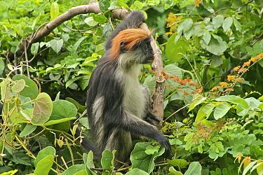 Udzungwa Red Colobus Monkey (Procolobus gordonorum) medium-sized juvenile female among canopy leaves Udzungwa Mountains National Park, Tanzania Endangered species  -  Tom Struhsaker/ npl