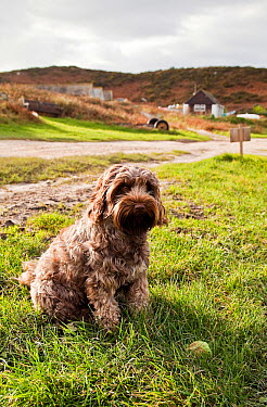 Domestic dog (3, 4 Tibetan Terrier, 1, 4 Cocker Spaniel) with ball Isles of Scilly, UK, December 2011  -  Merryn Thomas/ npl