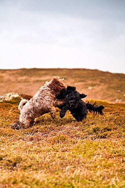 Two dogs playfighting on the coast St Martin's Maisie (3, 4 Tibetan Terrier, 1, 4 Cocker Spaniel) and Gonzo (1, 2 Tibetan, 1, 2 Cocker) Isles of Scilly, Cornwall, UK, January 2012  -  Merryn Thomas/ npl