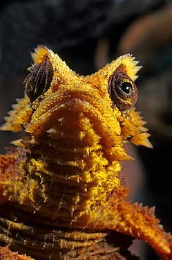 Antsingy leaf chameleon (Brookesia perarmata) Tsingy de Bemahara, Madagascar Endangered species  -  Daniel Heuclin/ npl