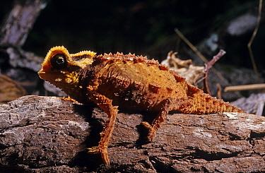 Antsingy leaf chameleon (Brookesia perarmata) clinging to log, Tsingy de Bemahara, Madagascar Endangered species  -  Daniel Heuclin/ npl