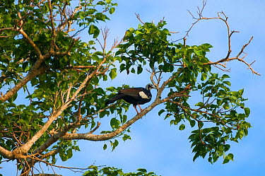 Blue-throated piping guan (Pipile pipile) perched in tree, Bolivian Amazona Critically endangered species  -  Daniel Heuclin/ npl