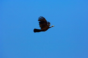 Blue-throated piping guan (Pipile pipile) in flight, Bolivian Amazona Critically endangered species  -  Daniel Heuclin/ npl