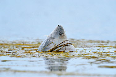 Common, Harbour Seal (Phoca vitulina) bottling, sleeping upright in water and moored in bed of sea thong weed, Islay, Scotland, April  -  Laurie Campbell/ npl