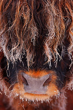 Highland bull (Bos taurus) face close up in freezing fog, Berwickshire Scotland, December  -  Laurie Campbell/ npl