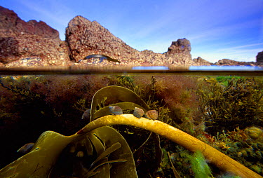 Split level view into rockpool showing Edible periwinkles (Littorina littorea) grazing on kelp, Berwickshire Coast, Scotland  -  Laurie Campbell/ npl