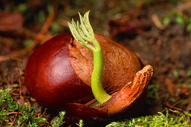 Horse chestnut (Aesculus hippocastanum) germinating, Isle of Rum National Nature Reserve, Inner Hebrides, Scotland, May  -  Laurie Campbell/ npl