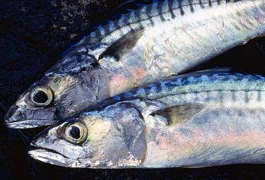 Two caught Atlantic mackerel (Scomber scombrus) Isle of Skye, Hebrides, Scotland, August  -  Laurie Campbell/ npl