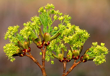 Norway maple (Acer platanoides) buds and flowers opening, Berwickshire, Scotland, May  -  Laurie Campbell/ npl