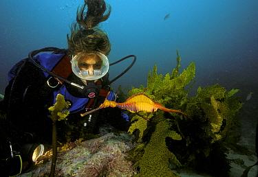 Weedy seadragon (Phylloperyx taeniolatus) with driver watching nearby, Australia Model released  -  Roberto Rinaldi/ npl