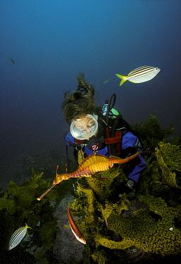 Weedy seadragon (Phylloperyx taeniolatus) with diver watching nearby, Australia Model released  -  Roberto Rinaldi/ npl