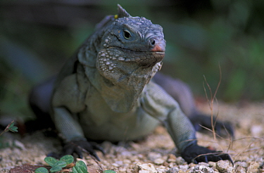 Blue iguana (Cyclura lewisi) portrait, Grand Cayman, Cayman Islands, critically endangered species  -  Roberto Rinaldi/ npl