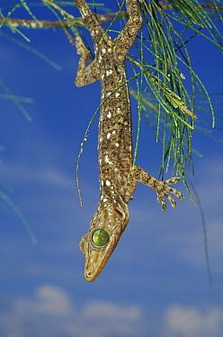 Smiths green eyed gecko (Gecko smithii) in tree, Indonesia  -  Roberto Rinaldi/ npl
