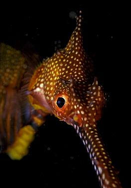 Weedy seadragon (Phylloperyx taeniolatus) close up of head, Australia  -  Roberto Rinaldi/ npl
