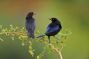 Bronzed cowbird (Molothrus aeneus) pair sitting on branch, Dinero, Lake Corpus Christi, South Texas, USA  -  Rolf Nussbaumer/ npl