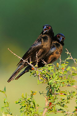 Bronzed cowbird (Molothrus aeneus) two males perched together on branch, Dinero, Lake Corpus Christi, South Texas, USA  -  Rolf Nussbaumer/ npl