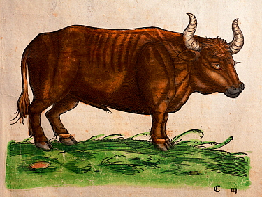 Woodcut of Auroch (Bos primigenius) from Gesner's 'Icones Animalium' 1560, with later colouring Published by Christoph Froschover, Zurich Hirsfogel's near identical picture of the auroch has the inscr...  -  Paul D Stewart/ npl