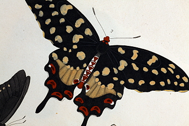 Illustration of Madagascan Pipevine Swallowtail (Pharmacophagus antenor, Batthus philenor, Drury 1773) Strong late 18th Century illustration with contemporary colouring following its discovery As a me...  -  Paul D Stewart/ npl