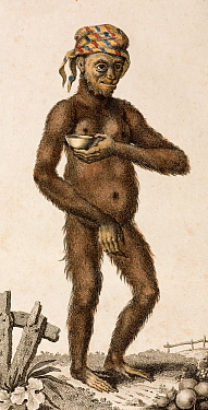 Illustration of female Orangutan (Pongo pygmaeus) 1795 'A Domesticated Female Orang Outang' (sic) Frid Gmelin and Carl Linnaeus (posthumous) 'A Genuine and Universal System of Natural History comprisi...  -  Paul D Stewart/ npl