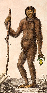 Illustration of male Orangutan (Pongo pygmaeus) 1795 'The Orang Outang, or Wild Man of the Woods' (sic) J Frid Gmelin and Carl Linnaeus (posthumous) 'A Genuine and Universal System of Natural History...  -  Paul D Stewart/ npl