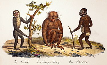 Illustration of gibbon, orangutan and chimpanzee 1824 contemporary coloured lithograph by Carl Brotdmann of 'Der Orang-Uttang', 'Der Hooloch' and 'Der Shimpanzee' appearing as table 1 in 'Naturhistori...  -  Paul D Stewart/ npl