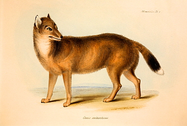 Illustration of the extinct Falkland Island Wolf or Fox (Dusicyon australis) Hand coloured lithograph, Plate IV, The Zoology of the Voyage of HMS Beagle, edited and superintended by Charles Darwin Par...  -  Paul D Stewart/ npl