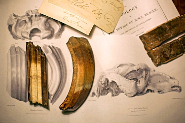 Toxodon platensis fossil teeth together with teeth featured in George Sharf's life-sized lithograph (plate IV) from 'The Zoology of the Voyage of HMS Beagle' under the supervision of Charles Darwin, P...  -  Paul D Stewart/ npl