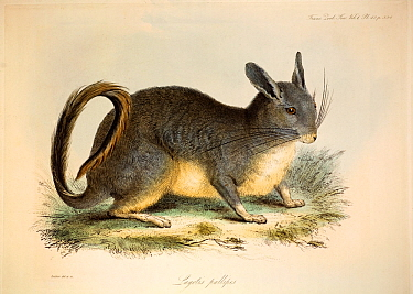 Illustration of Viscacha (Lagidium sp) Plate 42 from Volume 1 Trans Zool Soc London, 1835, 'Additional remarks on the Genus Lagotis, with some account of a second species referrible to it' with contem...  -  Paul D Stewart/ npl