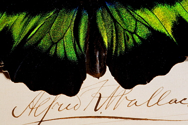 Rajah Brooke's Birdwing male (Trogonoptera brookiana) shown with a specimen signature of Alfred Russel Wallace who named it for his friend Sir James Brooke Wallace is remembered as the co-discoverer o...  -  Paul D Stewart/ npl